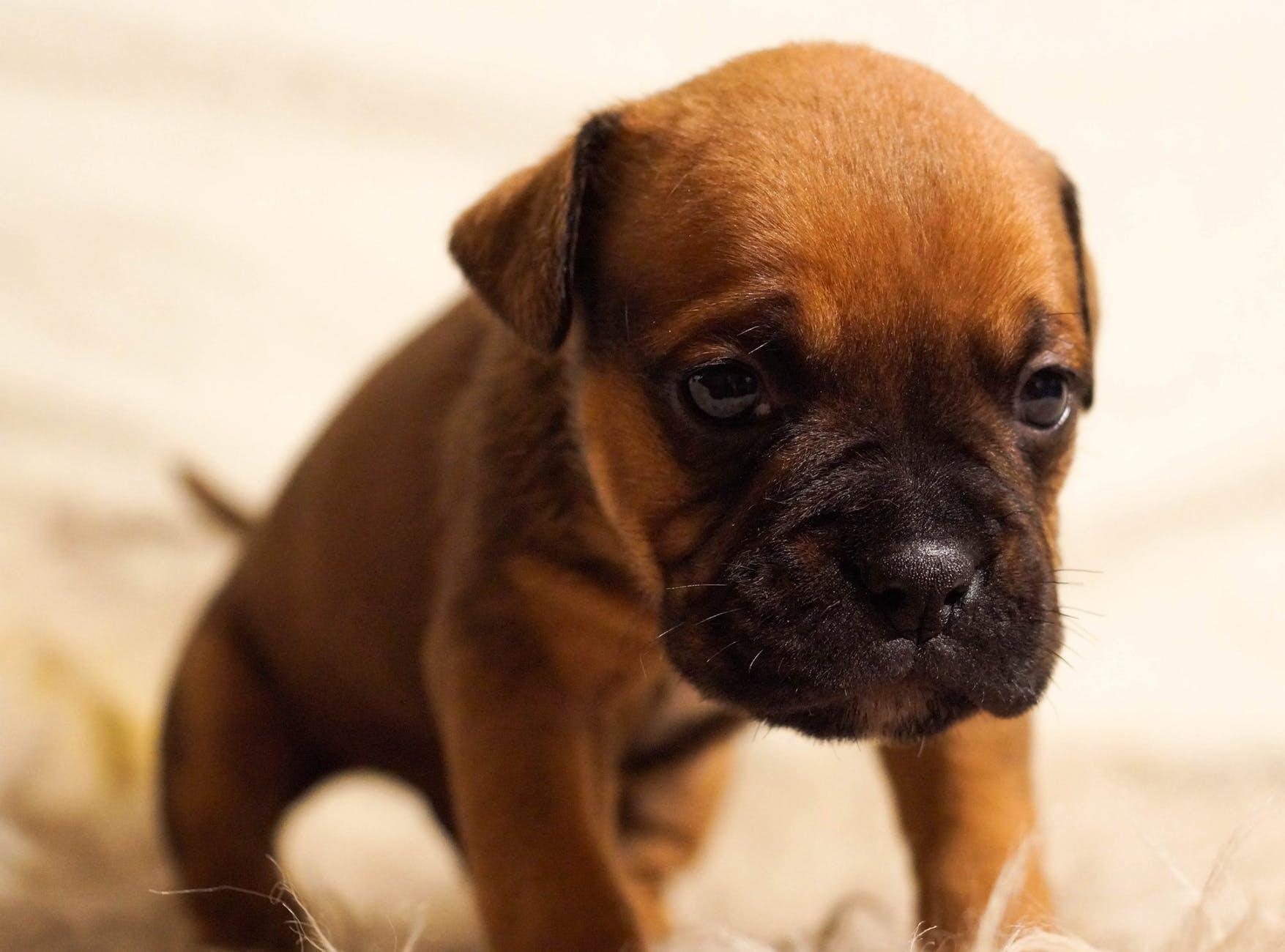 animal dog pet bulldog