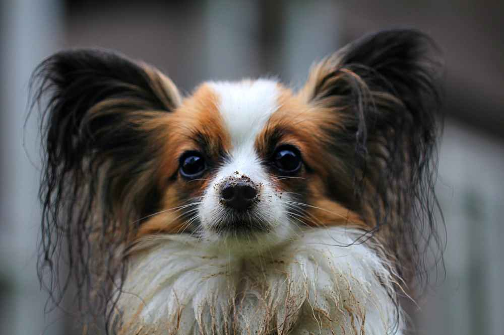 animal dog papillon
