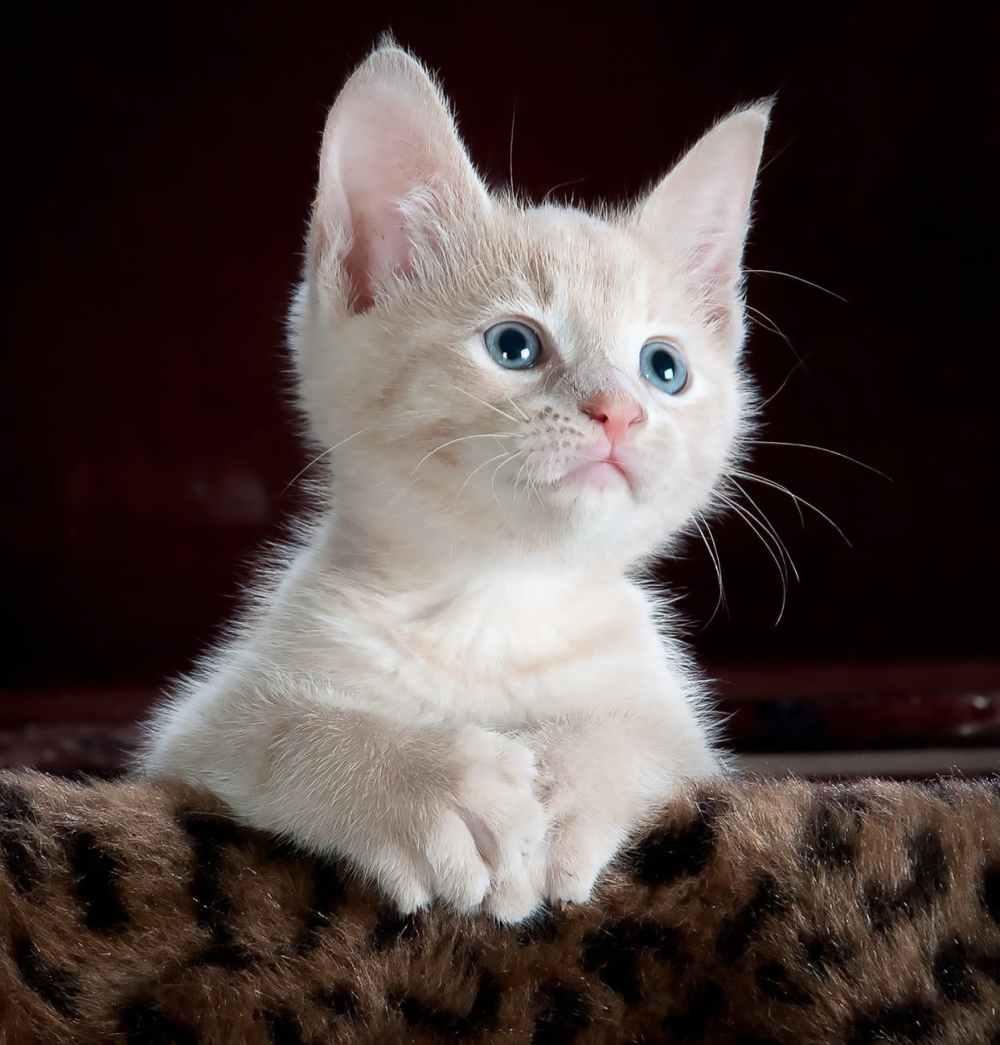 animal pet cute kitten
